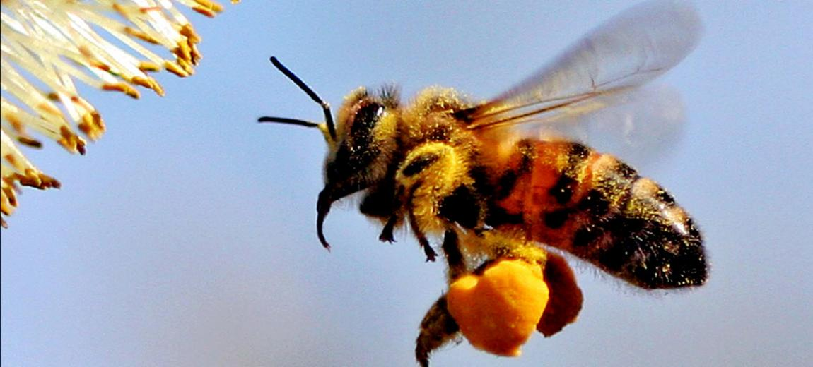 Photo of a honey bee in flight - Photo courtesy of Phil Capit via Creative Commons noncommercial license creativecommons.org/licenses/by-nc-nd/2.0/